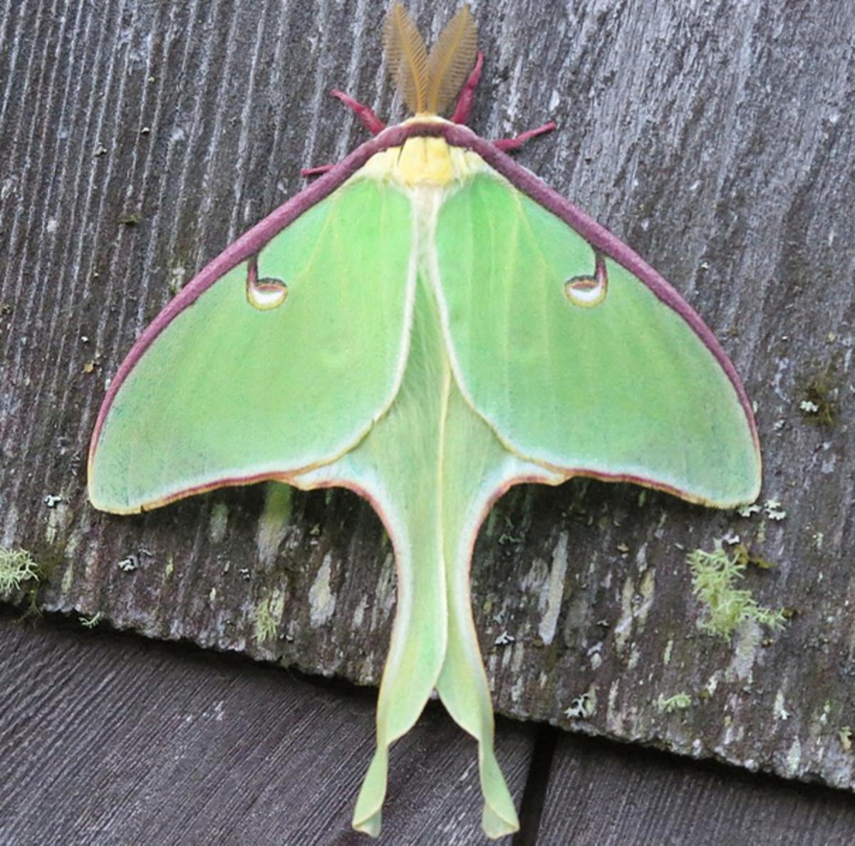 The breathtaking luna giant silk moth