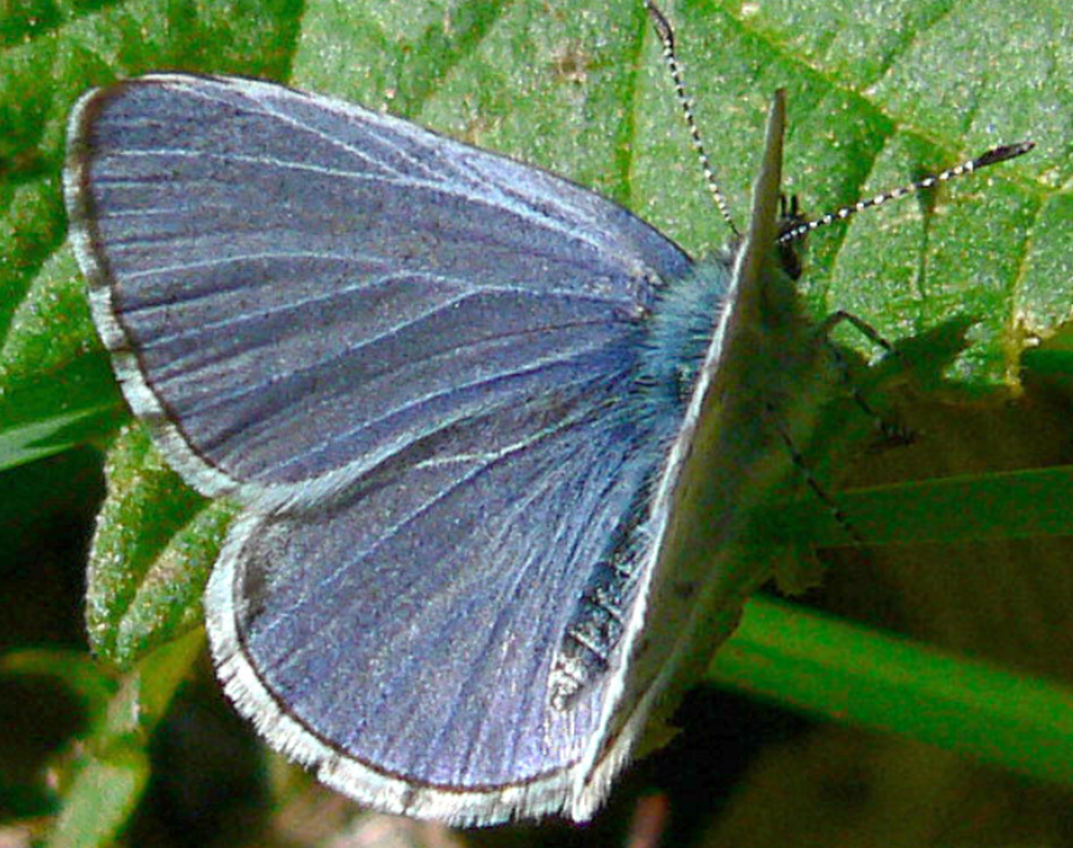 The spring azure butterfly, Celastrina ladon