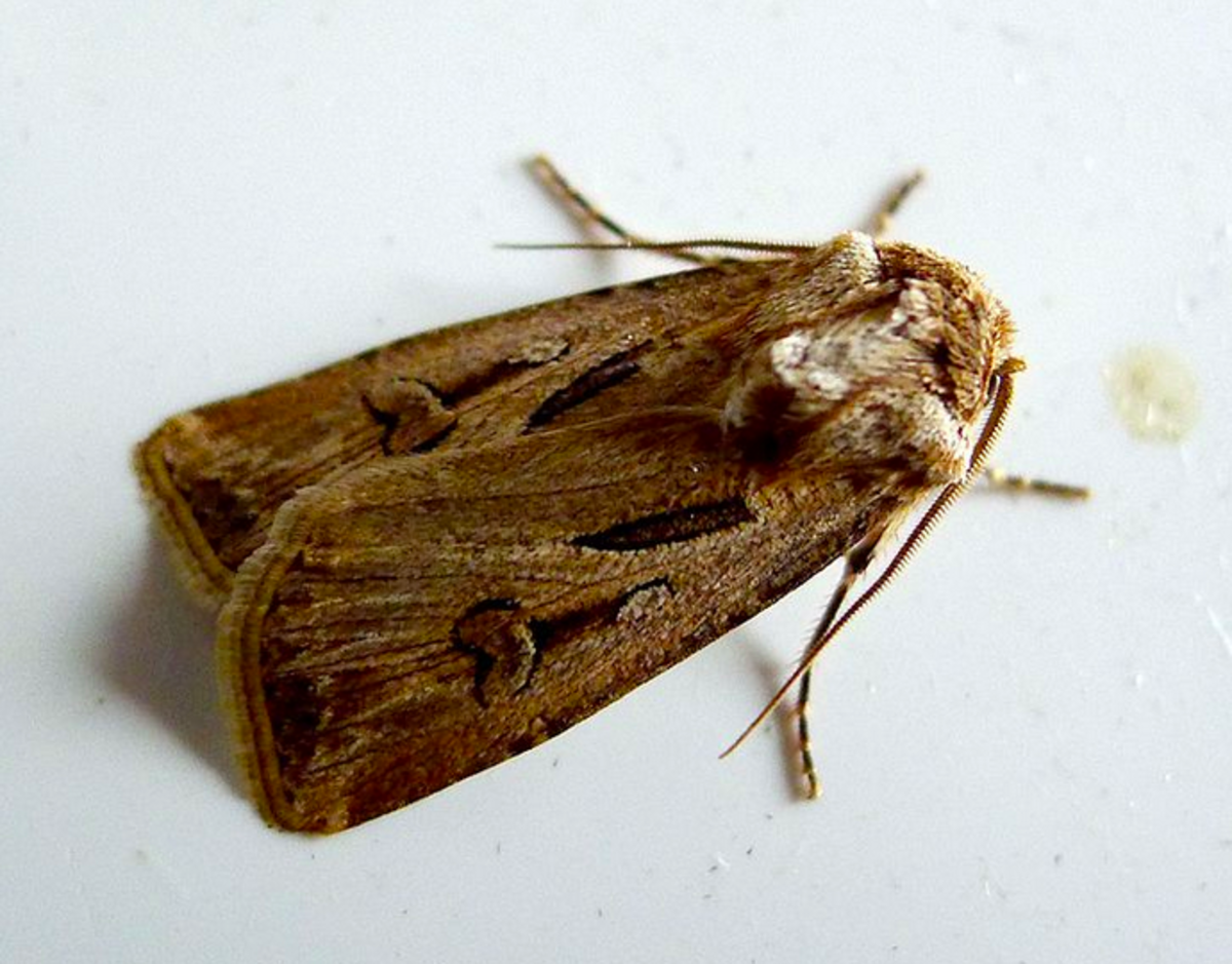 A cutworm moth