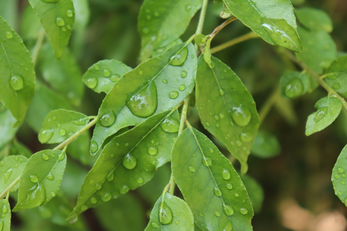 Curry leaf|Curry Patta