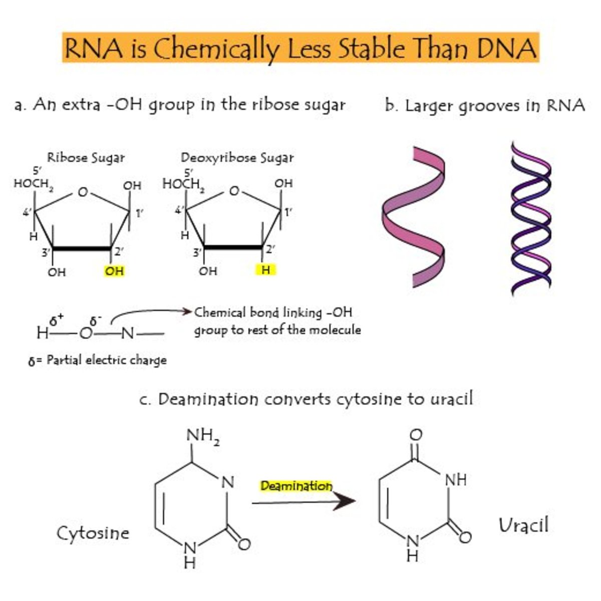 Reasons for lower stability of RNA compared to DNA.