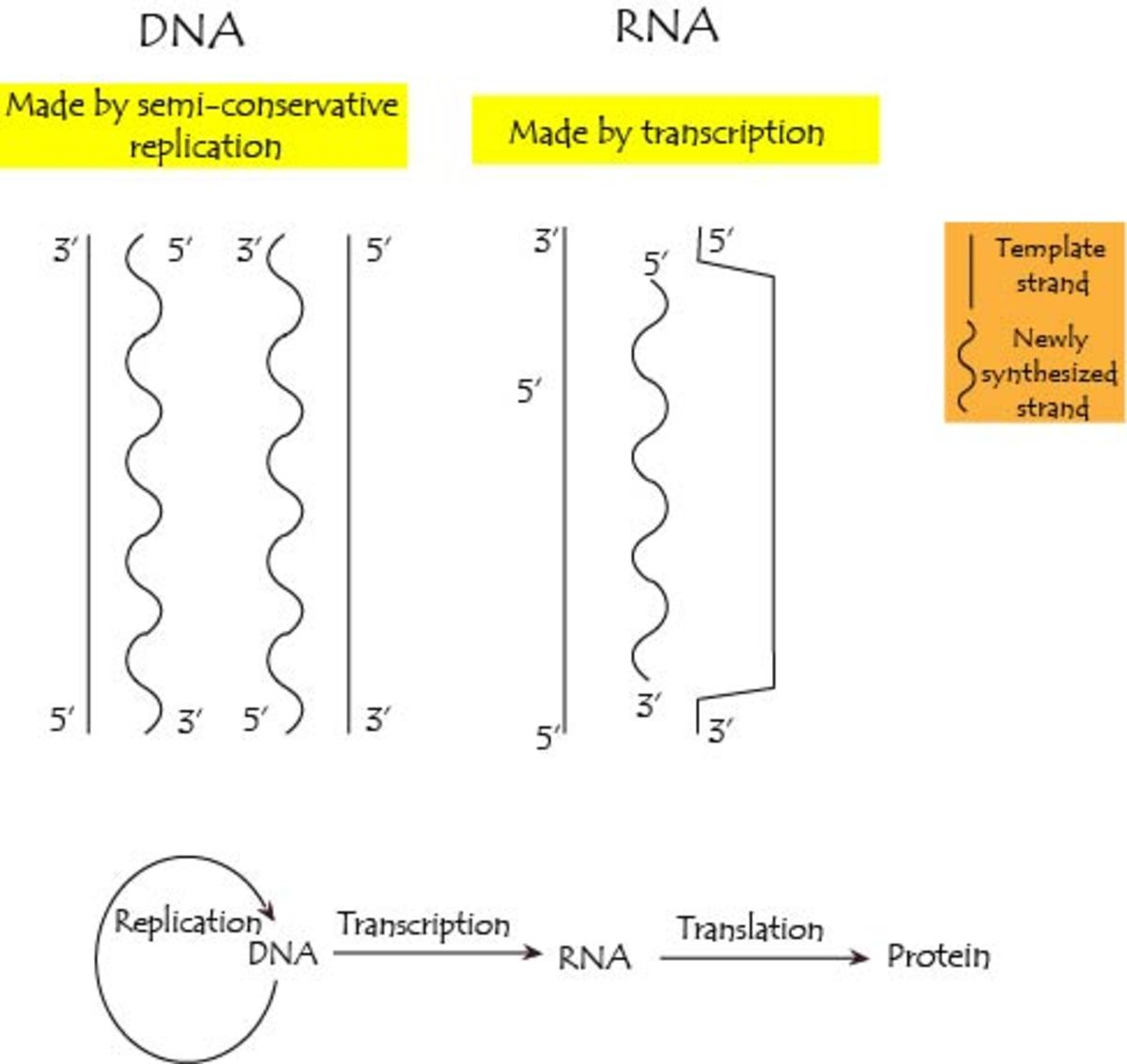 DNA is synthesized via replication and RNA is synthesized via transcription