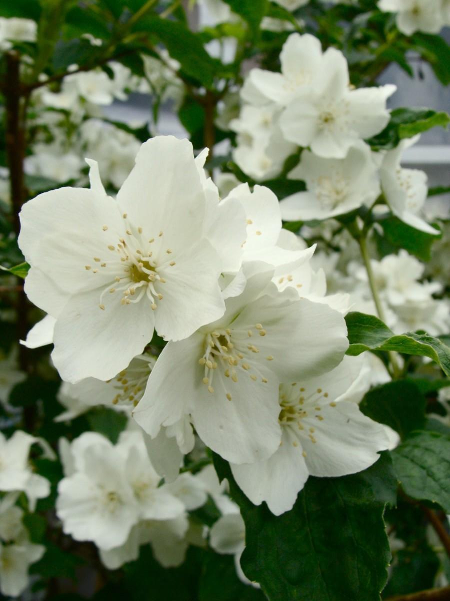 Night-blooming jasmine Floraison de jasmin nuit