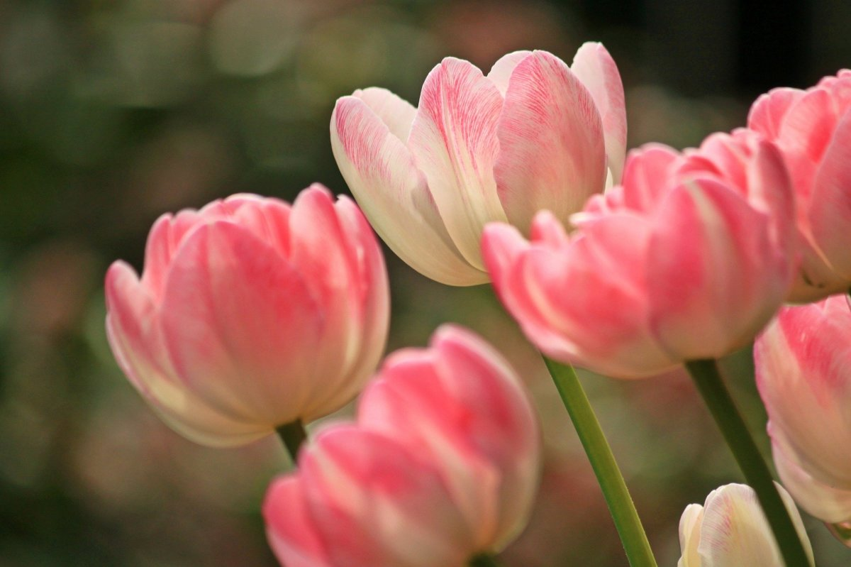 Tulip|Tulipe