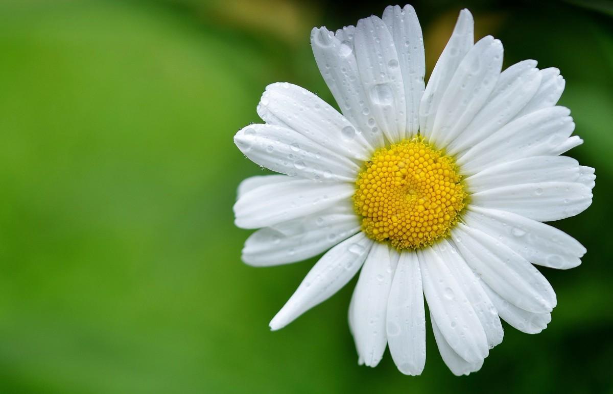 Daisy|Marguerite