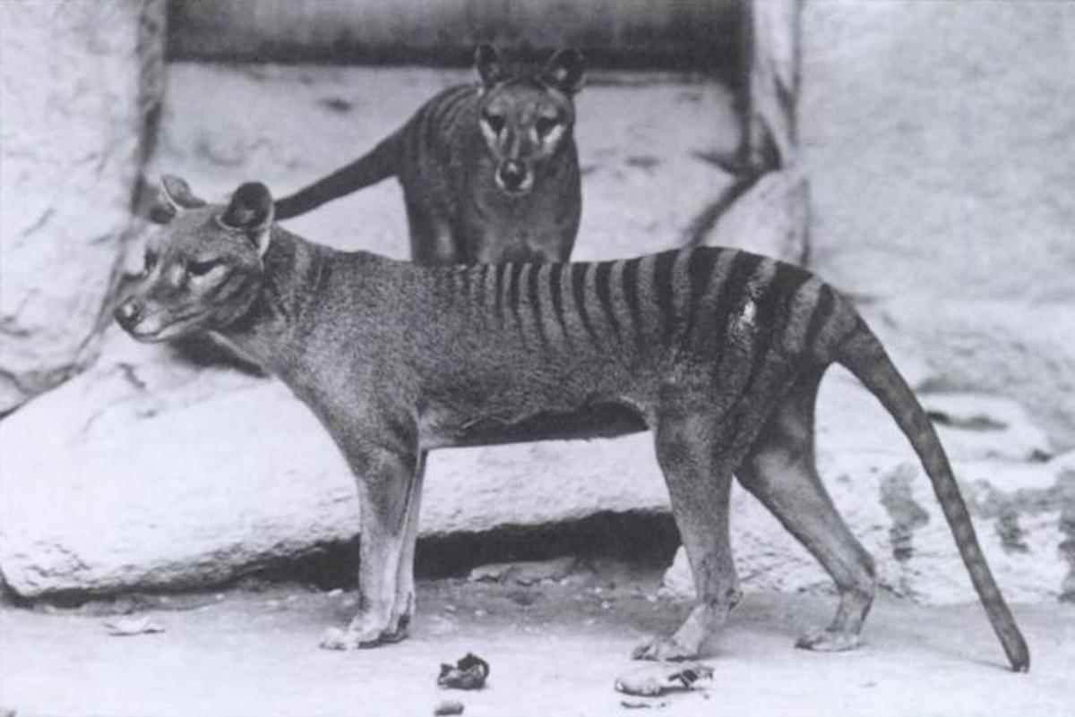 Two Tasmanian tigers stand in an enclosure.