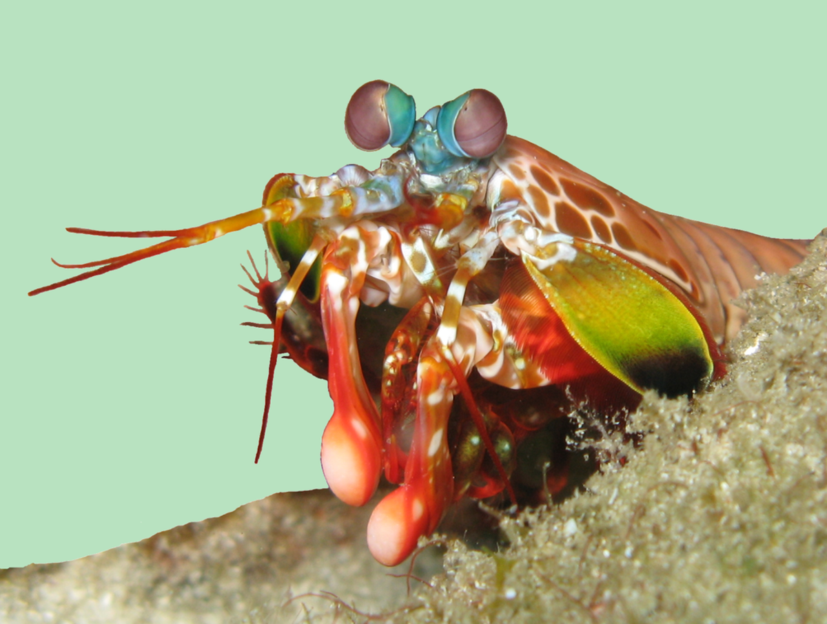 Mantis shrimp have a colorful and captivating appearance.