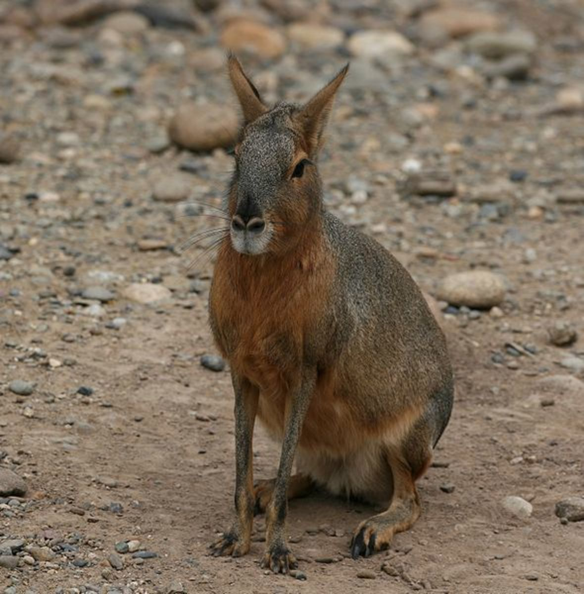 A Patagonian mara sits on its haunches to survey its surroundings.