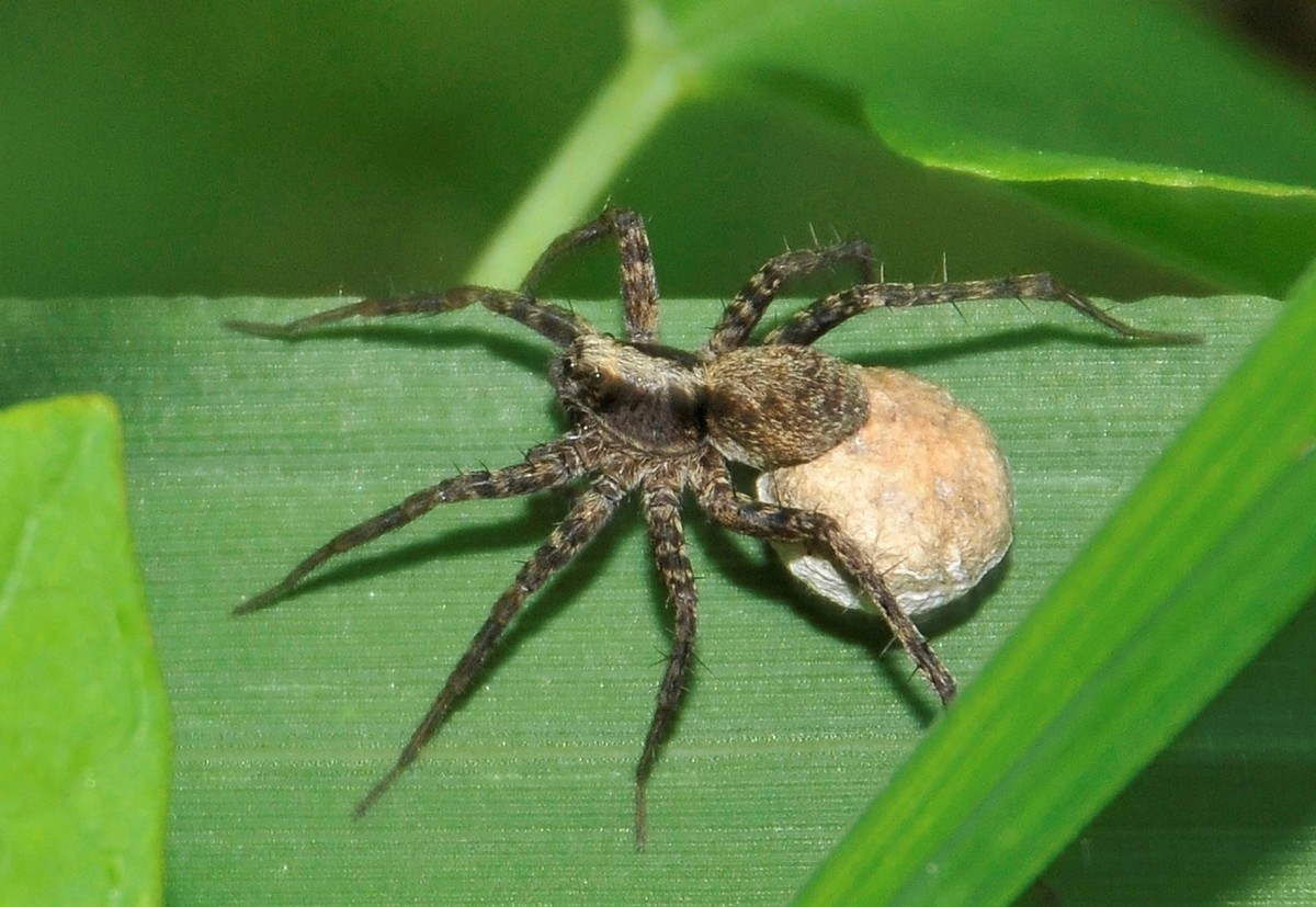A female Pardosa saltans carrying eggs