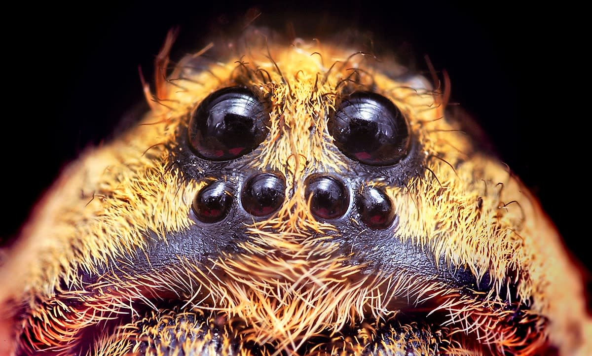 Six of a wolf spider's eight eyes are shown in this photo of a member of the Hogna genus. The other two eyes are on top of the head.and are slightly visible in the photo.