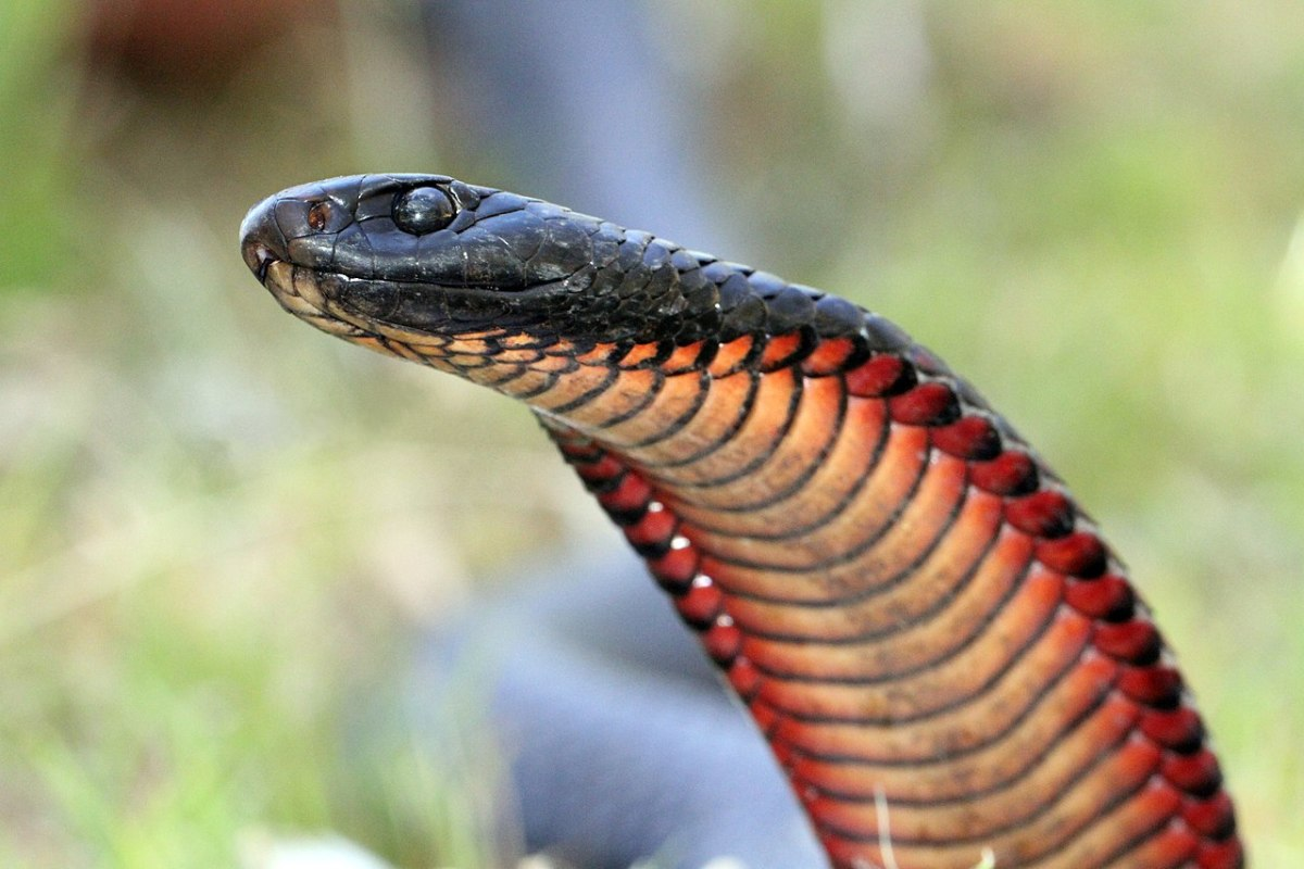 Notice how the red-bellied black snake raises (and flattens) its head in a manner similar to the cobra.