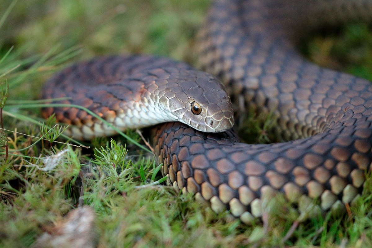 Despite its name, the lowlands copperhead should not be confused with the America-based snake.