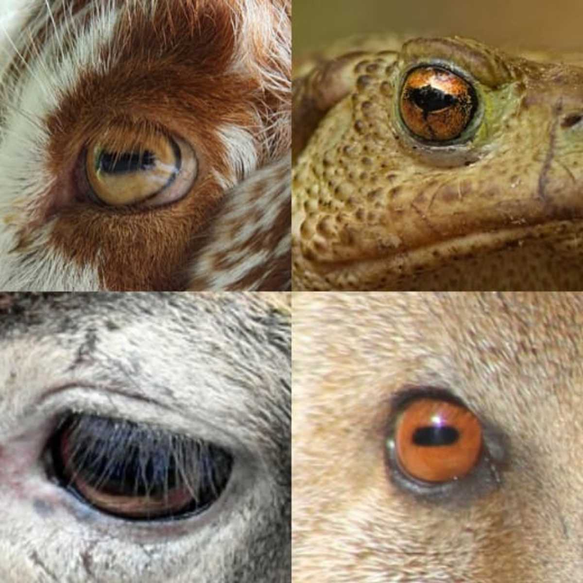 This photo shows the horizontal pupils of a goat, a toad, a deer, and a mongoose.