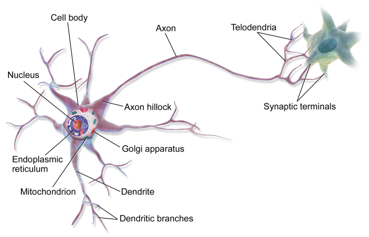 A human neuron (or nerve cell) showing the dendrites, cell body, and axon; the axon may be much longer than shown