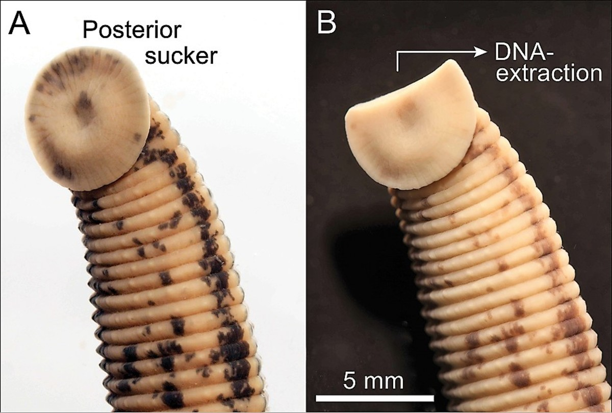 The posterior sucker of a medicinal leech that has been preserved in alcohol