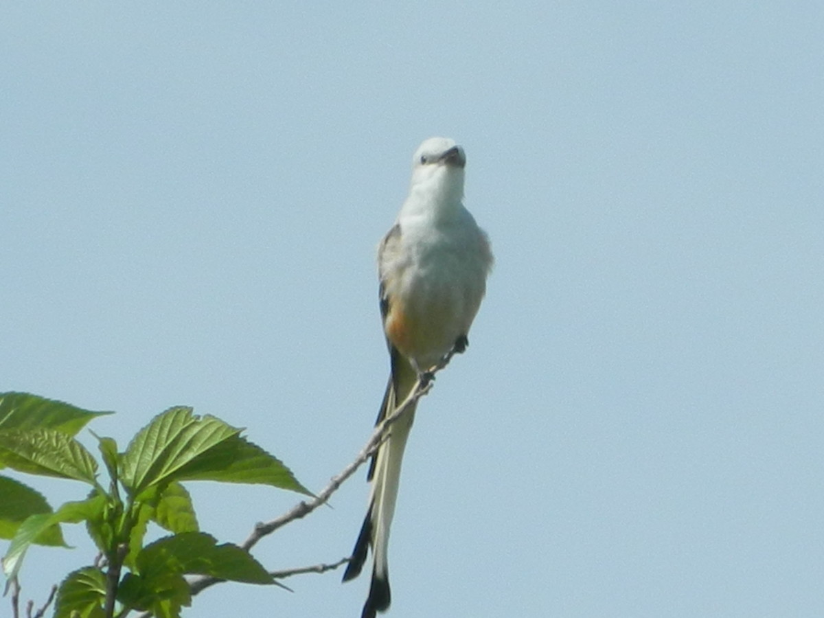 facts-about-the-scissor-tailed-flycatcher