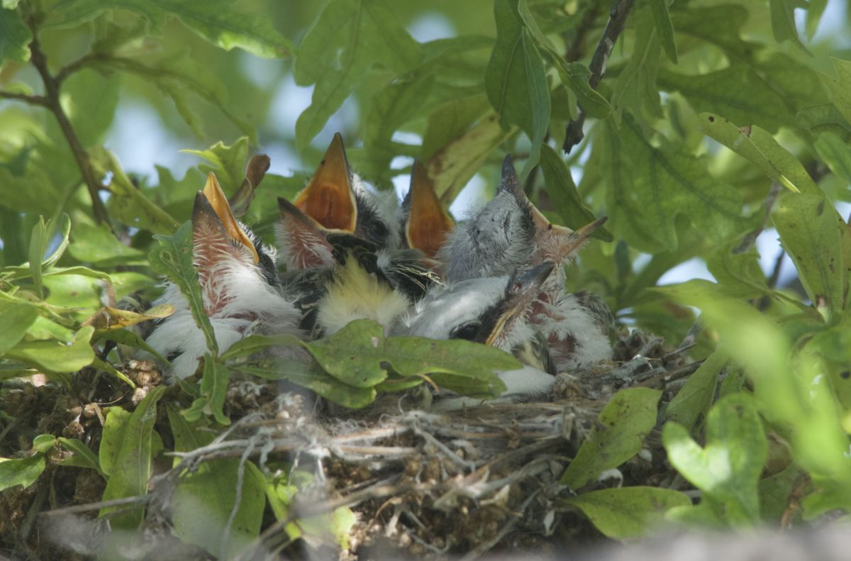 Five Little Nestling Scissor-tailed Flycatchers 2015, Nest #1