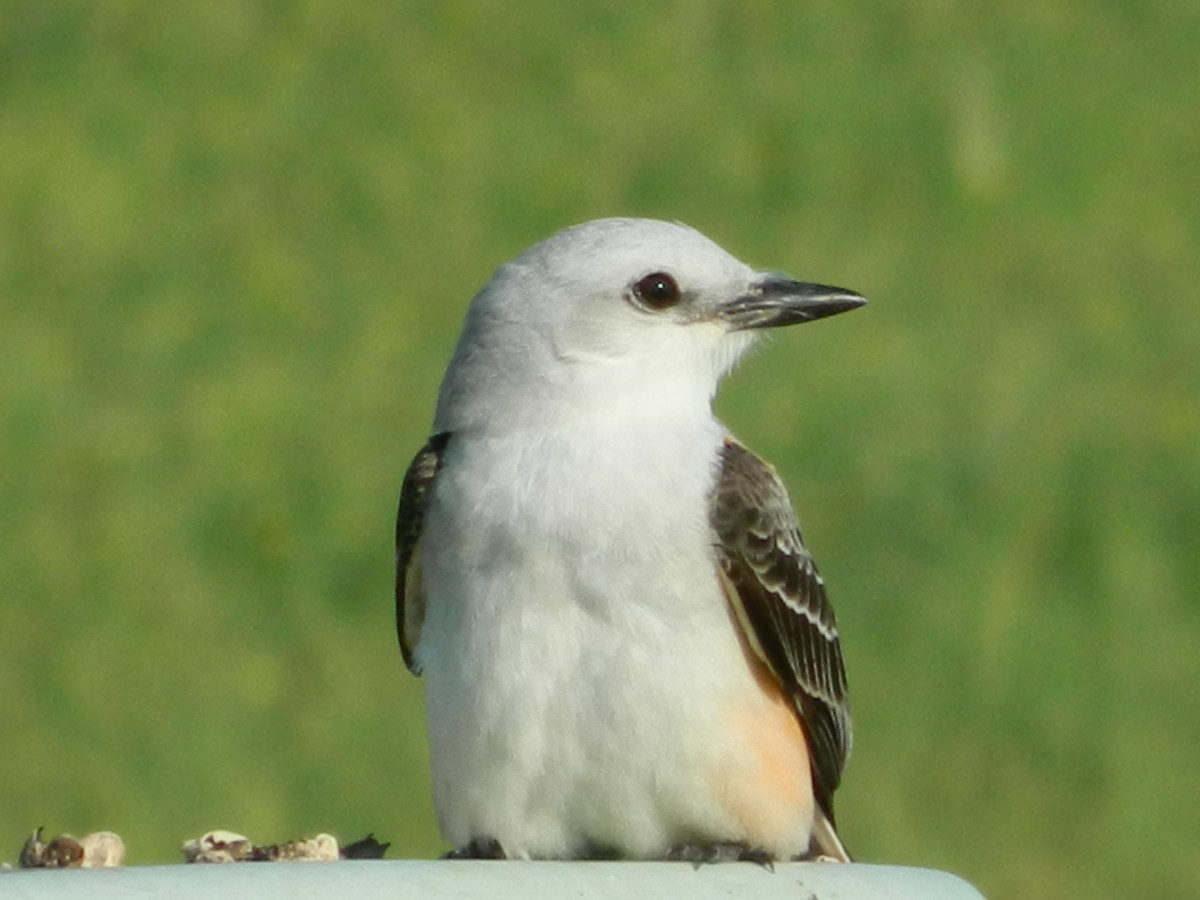 Facts about the scissor tailed flycatcher owlcation source sciox Image collections
