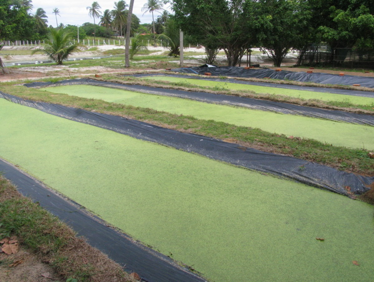 Our duckweed ponds