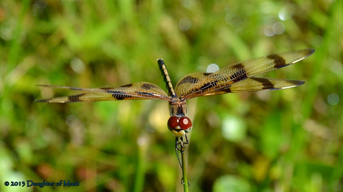 Female Halloween Pennant Dragonfly (Celithemis eponina)