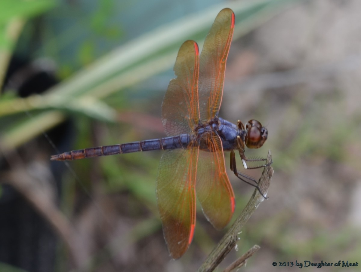a male Purple Skimmer (Libellula jesseana) native to Florida, but still quite rare.