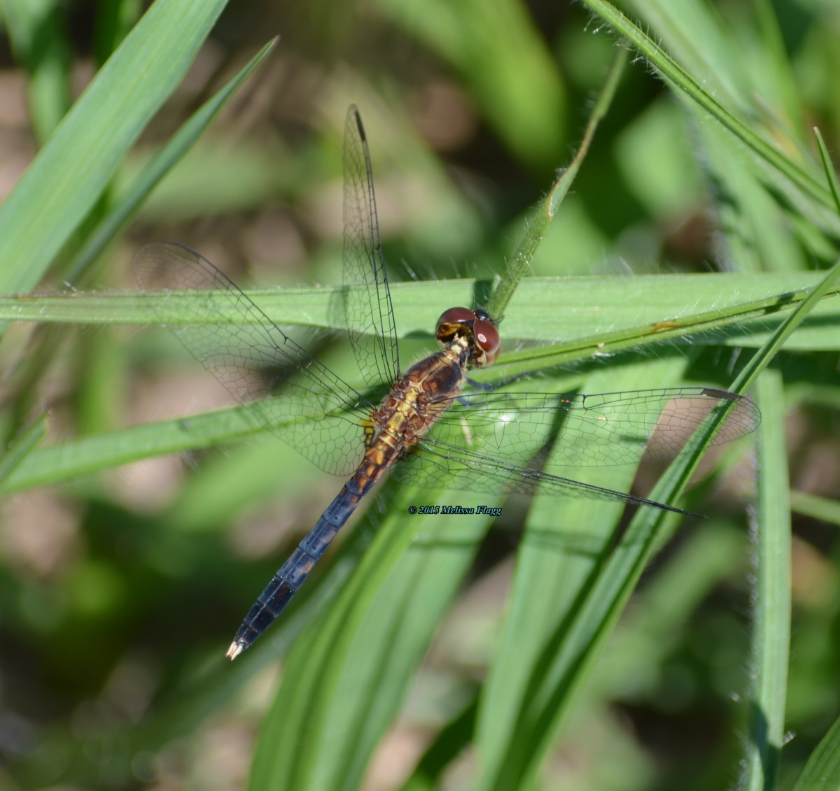 Dragonfly Facts and Symbolism | Owlcation