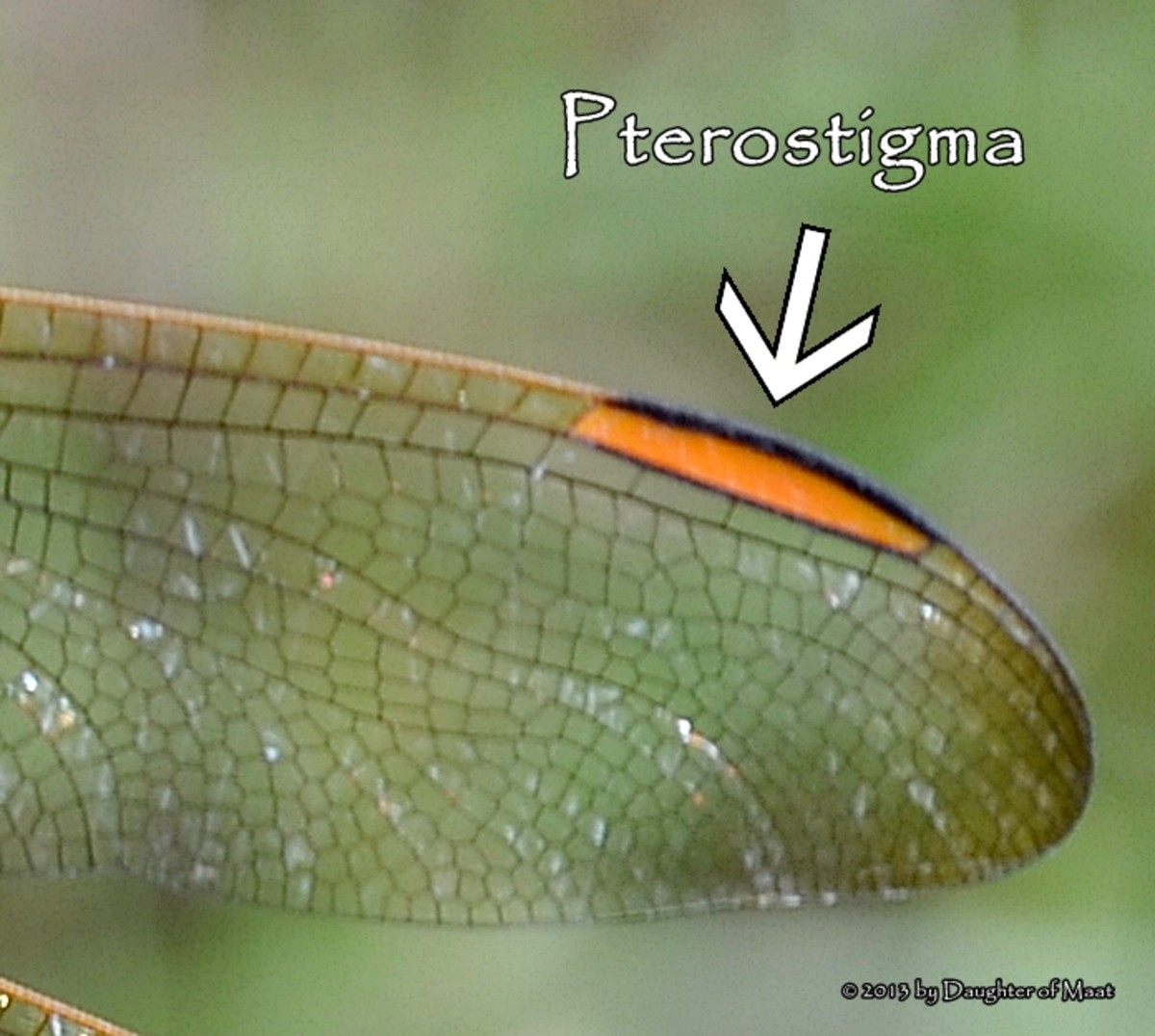 The pterostigma of a female golden winged skimmer.