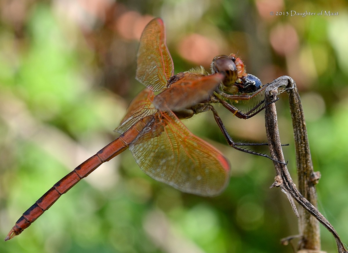 A male Golden Winged Skimmer ((Libellula auripennis) eating a small beetle.