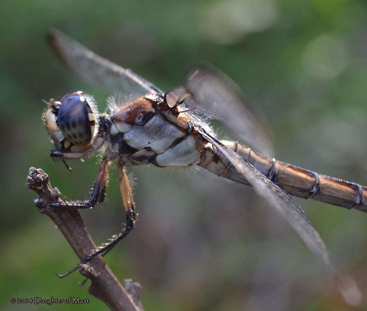 A female Slaty Skimmer