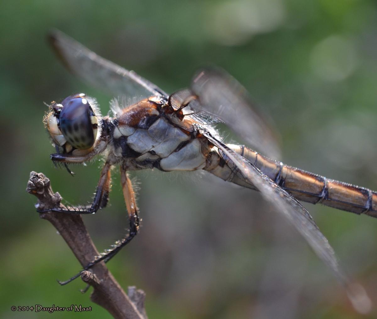 A female Slaty Skimmer