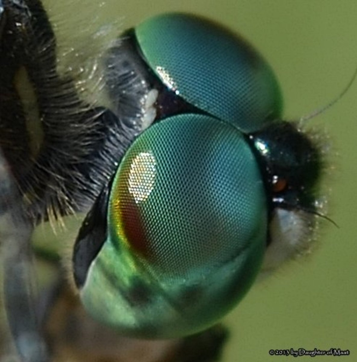 A closeup of the compound eyes of a blue dasher dragonfly.