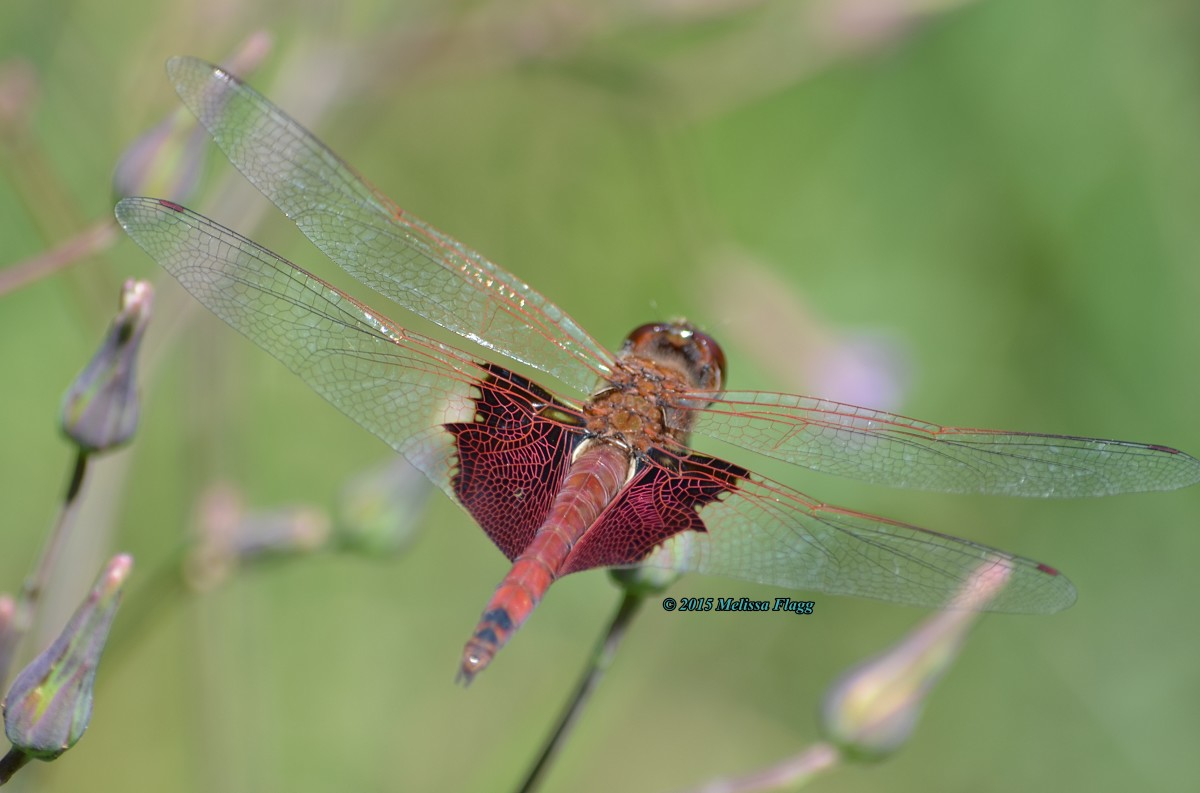 A male Carolina Saddlebags dragonfly (Tramea carolina)