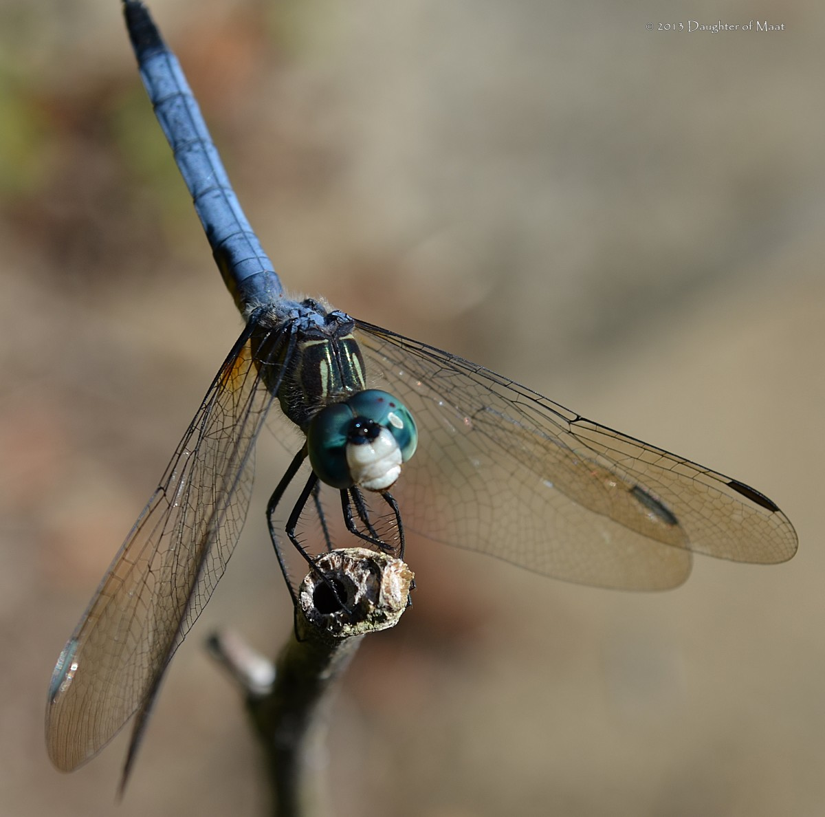 This male blue dasher (Pachydiplax longipennis) is in an obelisk position (called obelisking). Dragonflies use this position during the hottest parts of the day to prevent becoming overheated.