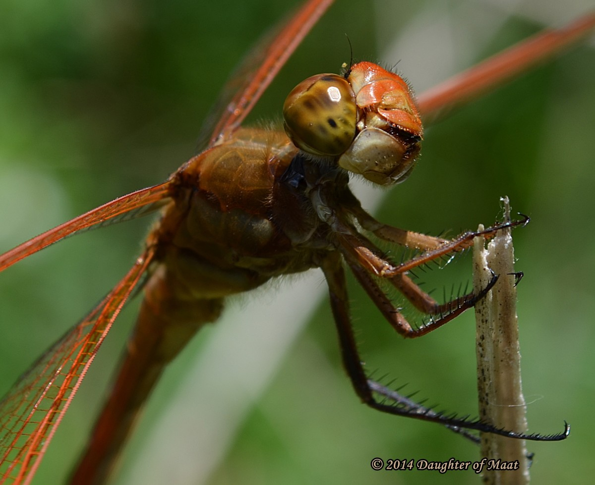 Male Golden Winged Skimmer (Libellula auripennis)