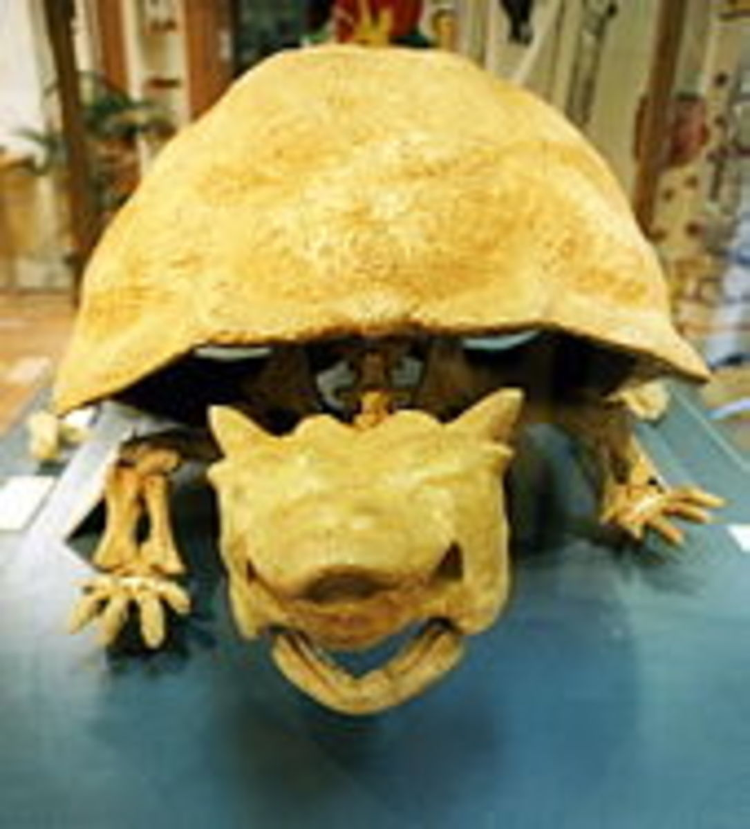 The skull of meiolania, note the horns on the top of its head, although these ones are quite small.