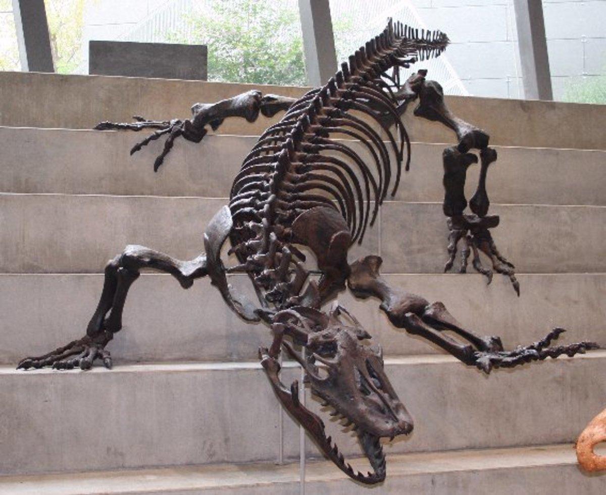 A skeleton cast of megalania