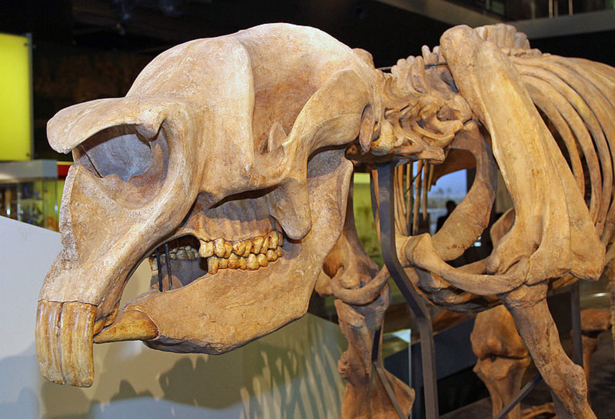 The skull of diprotodon that clearly shows the flat teeth that mark it out as a herbivore, and more specifically as a browser.