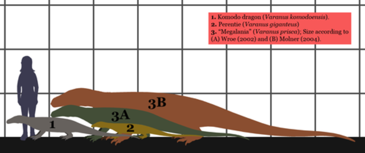 How the largest lizards measure up to man. (1) is the Komodo. (2) is the perentie and both (3A) and (3B) are megalania but according to two different interpretations. It could well be that the smaller one is a juvenile.
