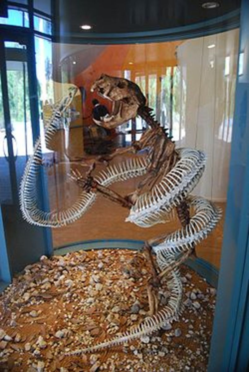 The giant snake wonambi, constricting a marsupial lion.