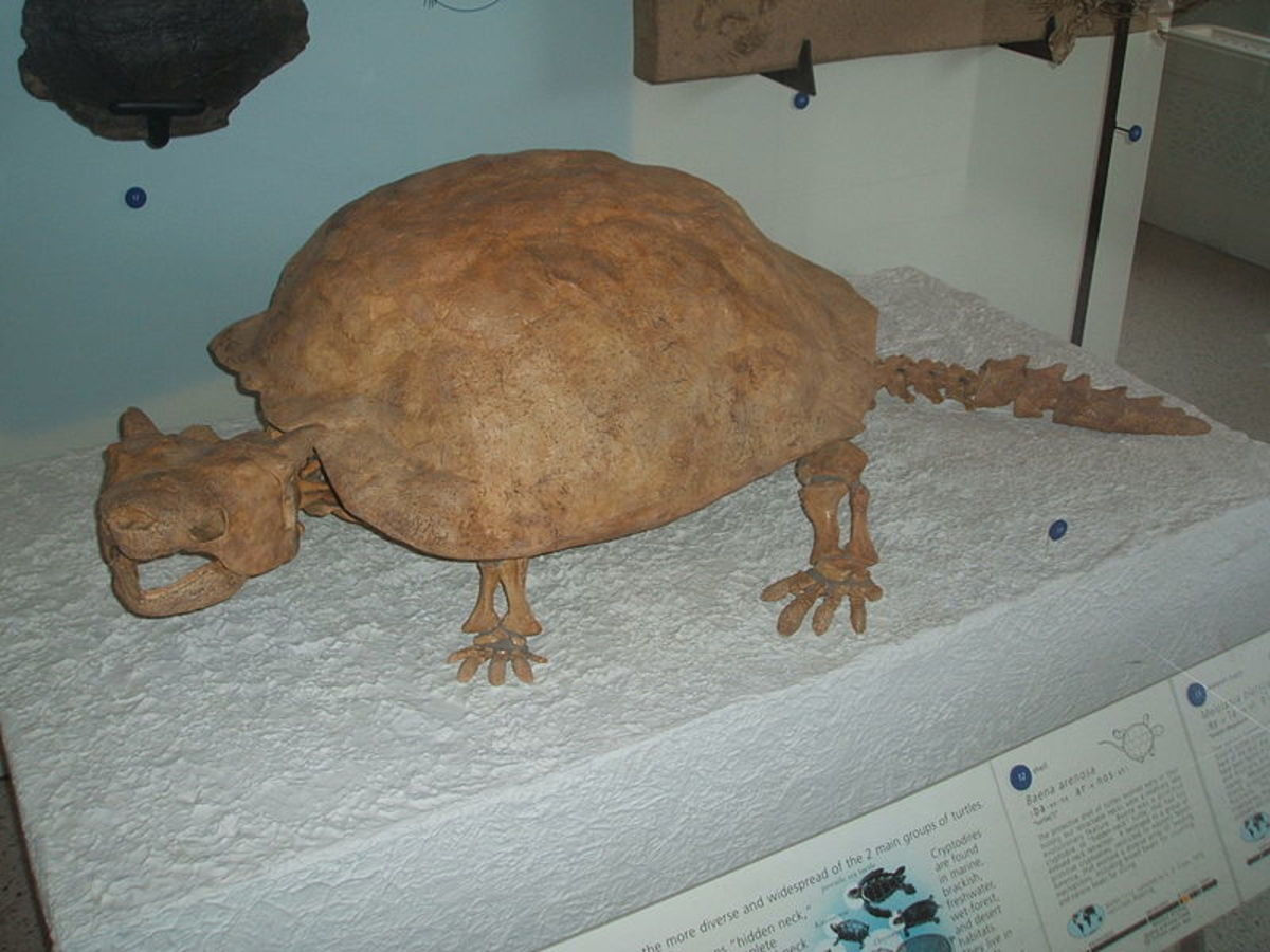 A skeleton of the giant horned land turtle known as meiolania