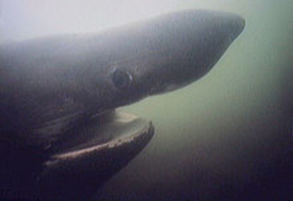 the pointed snout of the basking shark