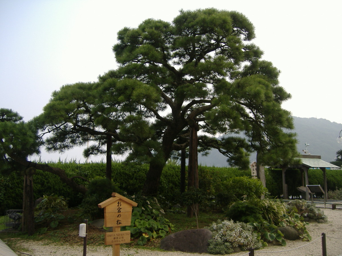 "The famous Japanese pine Omiya no Matsu in Atami, Shizuoka Prefecture, Japan. It was underneath this tree that Omiya and Kan-ichi broke up in Ozaki Koyo's 1887 story ""Konjiki-yasha."""