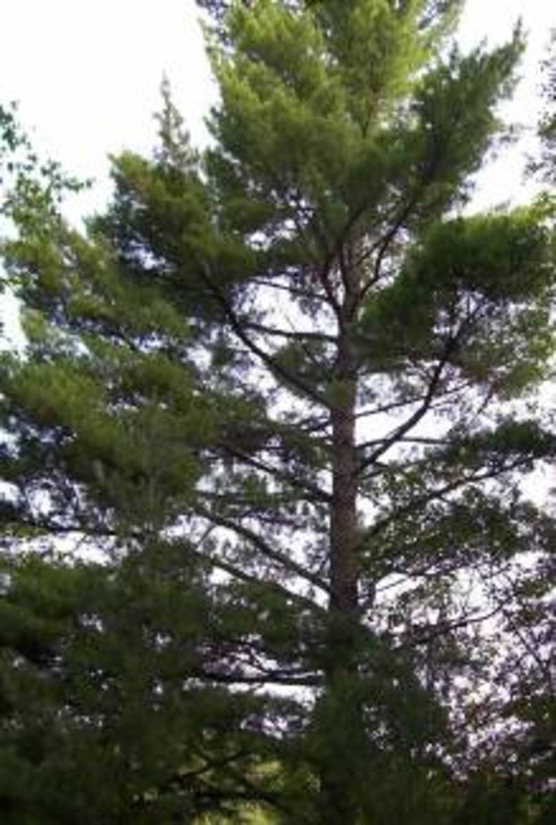An Eastern White Pine in Arrowhead Provincial Park, Huntsville, Ontario, Canada. This species of pine tree is very important to the Haudenosaunee (Iroquois) people in the US and Canada.
