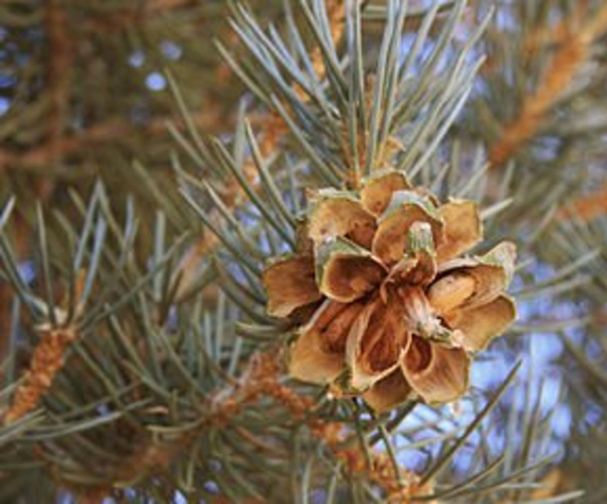 A pinyon pine cone with a light-colored nut in place.