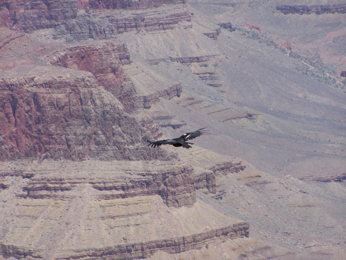 A California Condor Soaring Over the Grand Canyon.