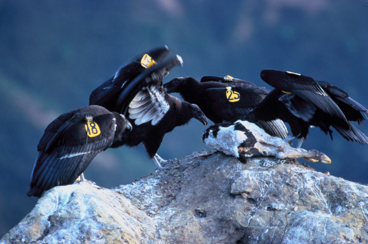 A Group of Condors Feeding on a Carcass.