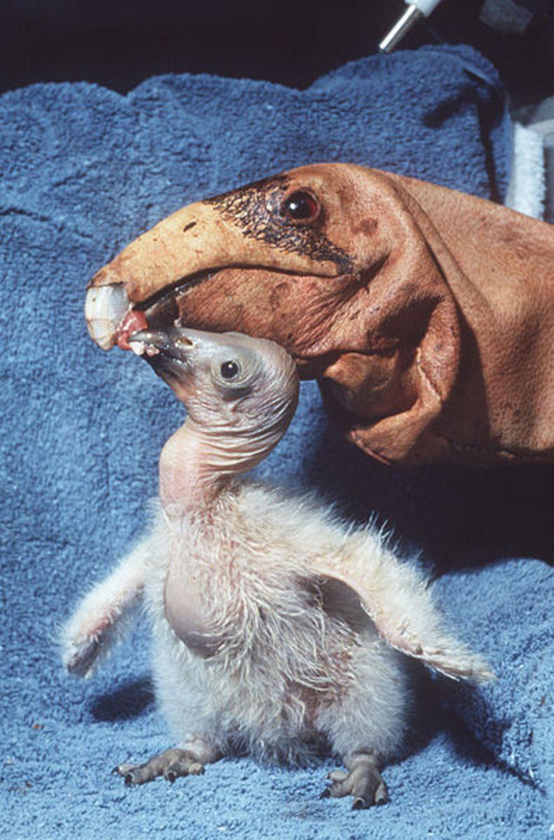 Condor puppet feeding a condor chick
