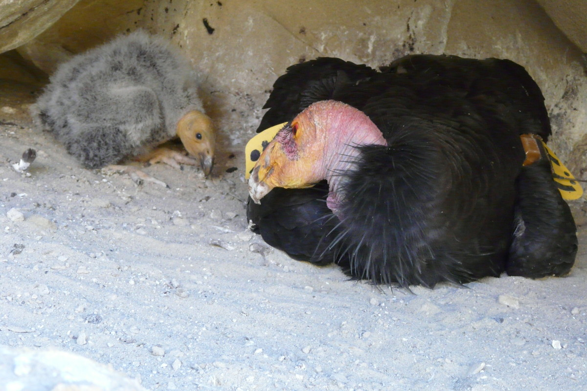 An adult California condor sits with its 30-day old chick in a cave nest near Hopper Mountain National Wildlife Refuge, California, USA.