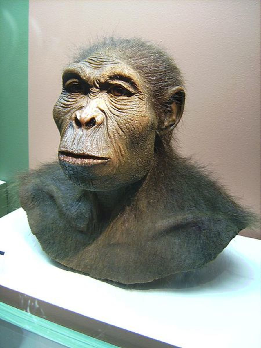 Homo Habilis also known as 'The Handy Man' was probably the first hominid capable of making their own stone tools- a crucial technological innovation which allowed them to live off a wide range of different food.