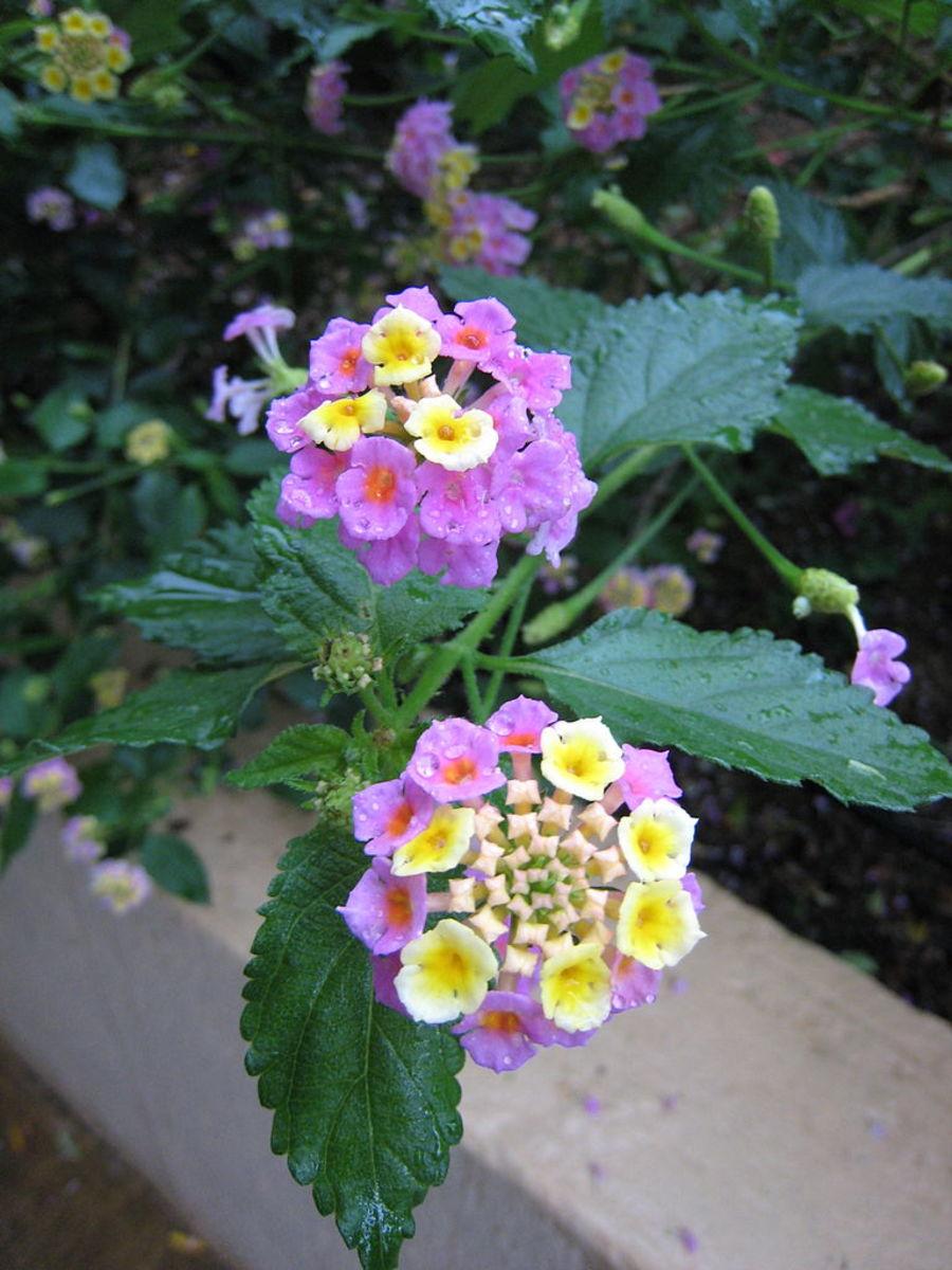 The beautiful Lantana flower, seen in Bali, Indonesia